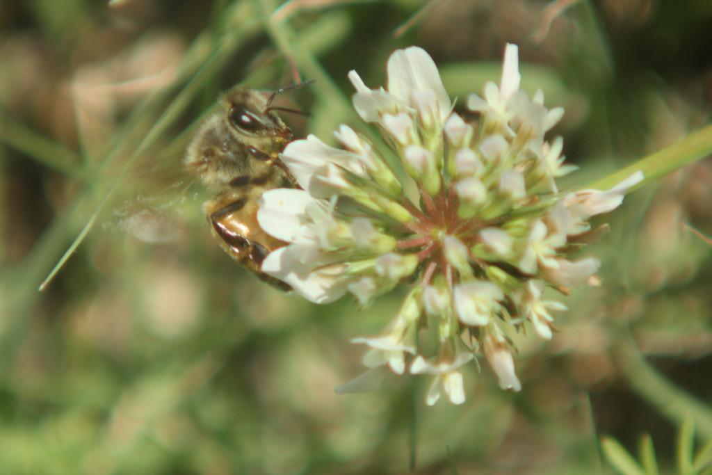 Honey bee clover